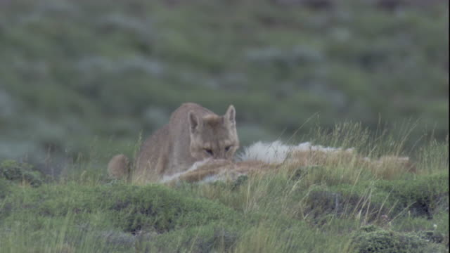 puma feeds on guanaco kill, andes, chile available in hd. - puma stock videos & royalty-free footage