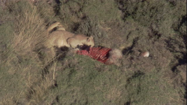 a puma feeds on its guanaco kill. available in hd. - puma stock videos & royalty-free footage