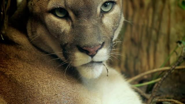 puma headshot. - puma stock videos & royalty-free footage