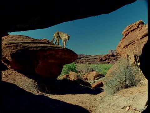 vídeos de stock, filmes e b-roll de puma jumps off rock and enters cave, utah - grotto cave