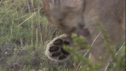 puma licks its paw, andes, chile. available in hd. - mountain lion stock videos & royalty-free footage
