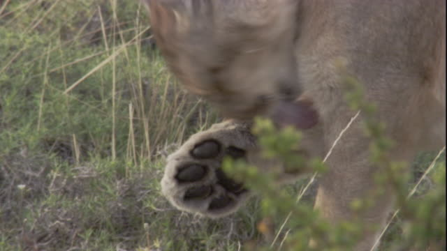puma licks its paw, andes, chile. available in hd. - puma stock videos & royalty-free footage
