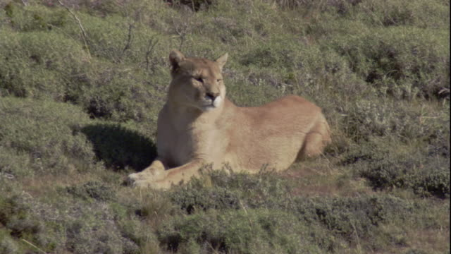 a puma lies in the sunshine and looks around. available in hd. - mountain lion stock videos & royalty-free footage