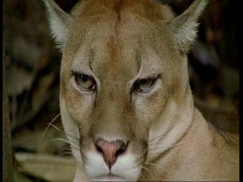 cu puma looking to camera, south america - animal eye stock videos & royalty-free footage