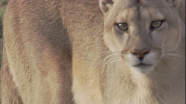 puma looks around, andes, chile. available in hd. - puma stock videos & royalty-free footage