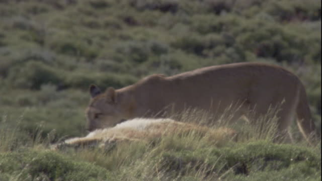 a puma looks around before feeding on a guanaco carcass. available in hd. - puma stock videos & royalty-free footage