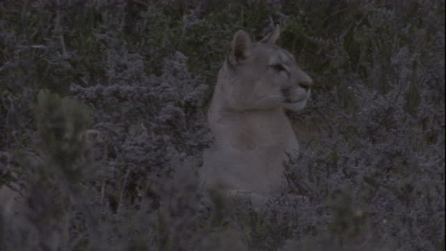 a puma looks around, chile. available in hd. - mountain lion stock videos & royalty-free footage