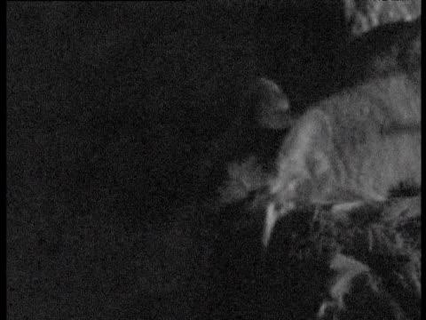 vídeos y material grabado en eventos de stock de puma looks at camera then eats deer carcass at night, canada - felino grande