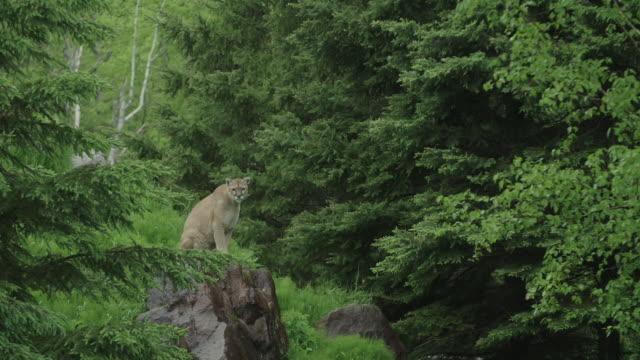 vídeos y material grabado en eventos de stock de puma on rock looking around - puma
