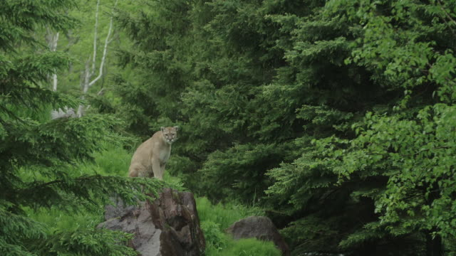 puma on rock looking around - puma stock videos & royalty-free footage