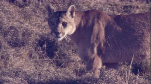 vídeos y material grabado en eventos de stock de a puma prowls along a hillside. available in hd. - puma