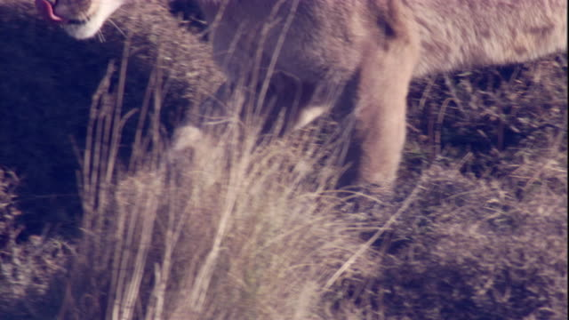 a puma prowls along a hillside. available in hd. - puma stock videos & royalty-free footage