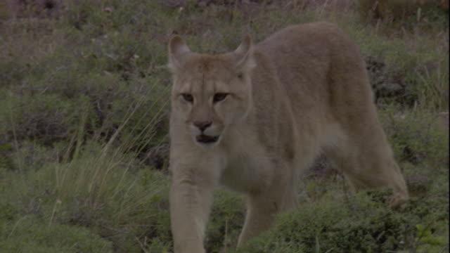 vídeos y material grabado en eventos de stock de a puma prowls along a mountainside. available in hd. - puma