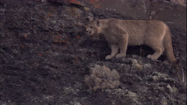 a puma prowls along a rocky mountainside. available in hd. - puma stock videos & royalty-free footage