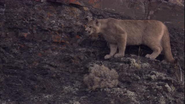 vídeos y material grabado en eventos de stock de a puma prowls along a rocky mountainside. available in hd. - puma