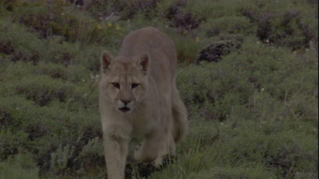 vídeos y material grabado en eventos de stock de a puma prowls along mountainside. available in hd. - puma