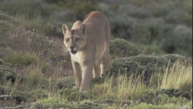 puma prowls on mountainside, andes, chile available in hd. - south america stock videos & royalty-free footage