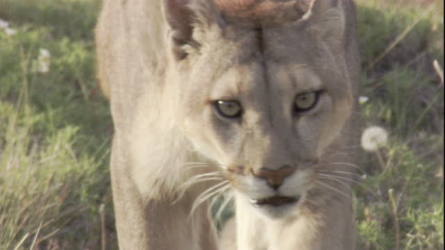 puma prowls on mountainside, andes, chile available in hd. - puma stock videos & royalty-free footage