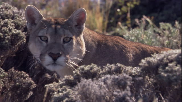 a puma prowls through long grass. available in hd. - stealth stock videos and b-roll footage