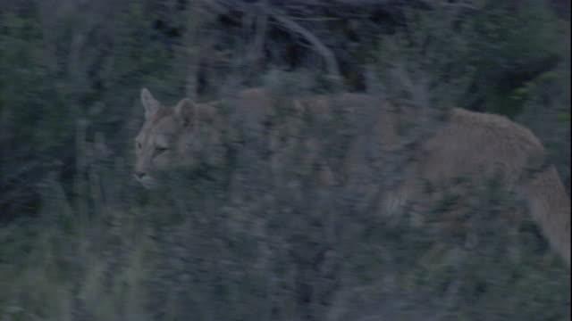 vídeos y material grabado en eventos de stock de a puma prowls through the bushes, chile. available in hd. - puma