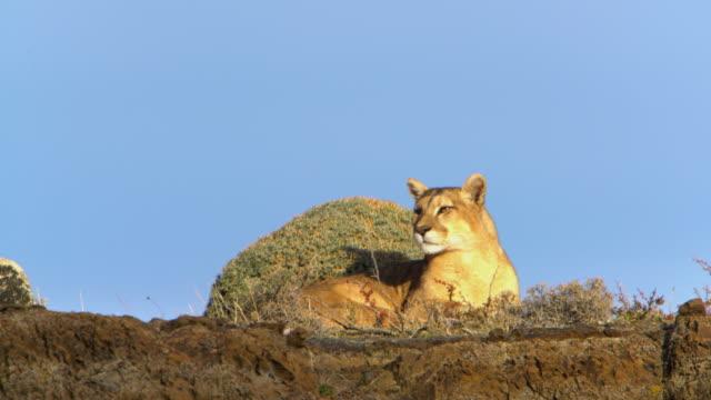 vídeos de stock, filmes e b-roll de puma descansando em uma rocha do parque nacional torres del paine - américa do sul