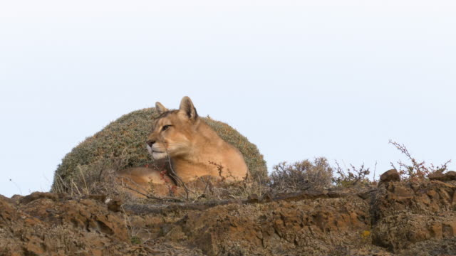 puma resting on top of a rock in patagonia - mountain lion stock videos & royalty-free footage