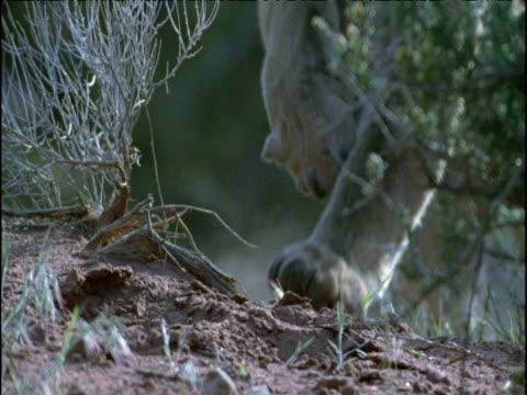 vídeos y material grabado en eventos de stock de puma runs towards camera, arizona - puma