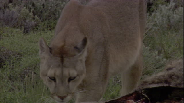 puma sniffs at guanaco kill, andes, chile available in hd. - puma stock videos & royalty-free footage
