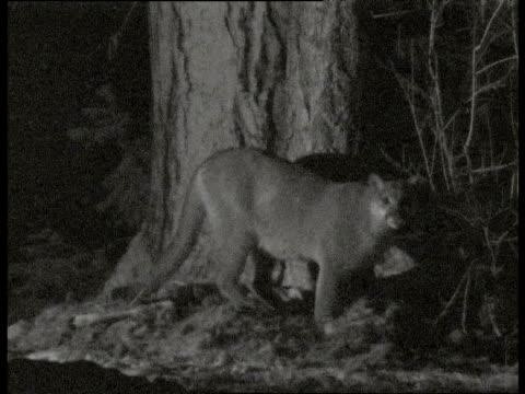 vídeos y material grabado en eventos de stock de puma stands up and walks around carcass looking at camera - puma