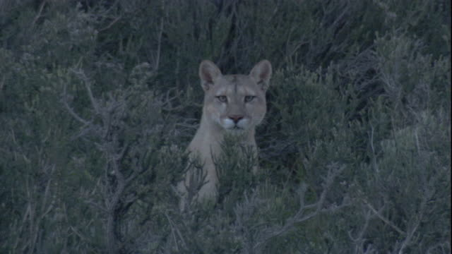 a puma stares at the camera. available in hd. - puma stock videos & royalty-free footage
