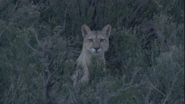 vídeos y material grabado en eventos de stock de a puma stares at the camera. available in hd. - puma