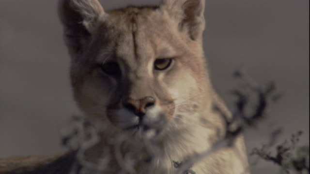 a puma stares toward the camera. available in hd. - mountain lion stock videos & royalty-free footage