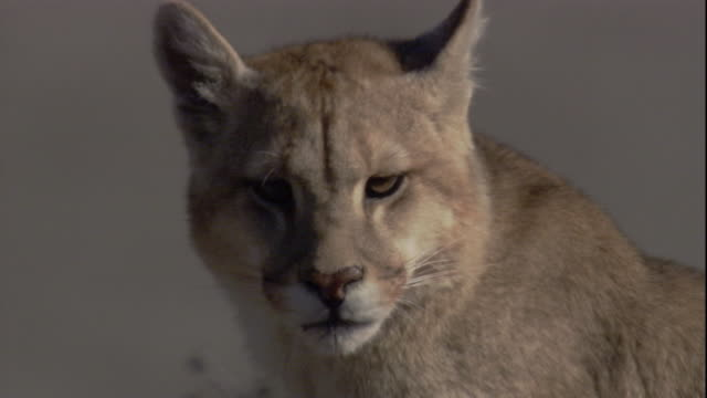 a puma stares while rotating one ear to listen. available in hd. - puma felino selvatico video stock e b–roll