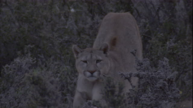 puma stretches and yawns, chile. available in hd. - puma stock videos & royalty-free footage