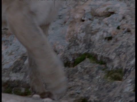 "vidéos et rushes de puma strides past, arizona - ""bbc natural history"""