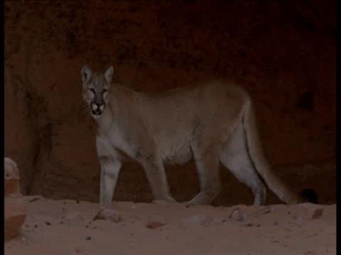 vídeos y material grabado en eventos de stock de puma strides past rock, arizona - puma