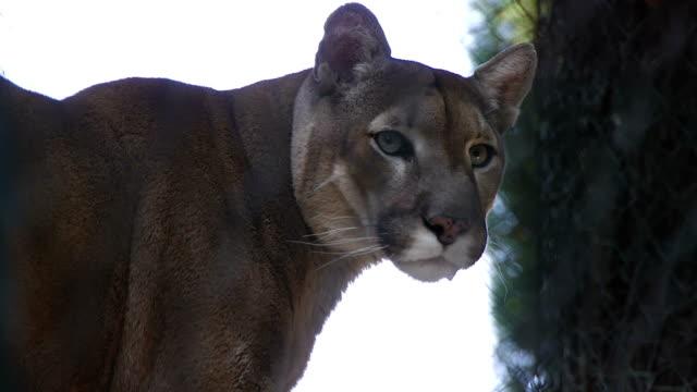 puma - mountain lion stock videos & royalty-free footage