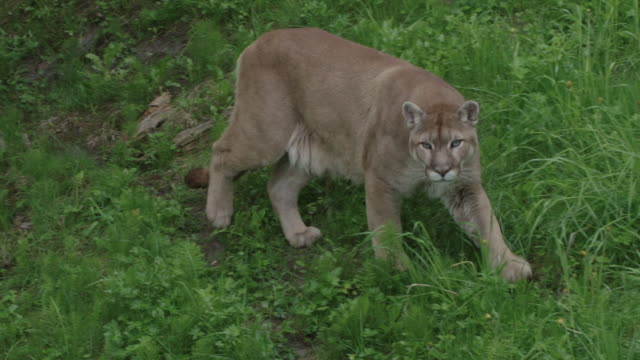 Puma walking in field