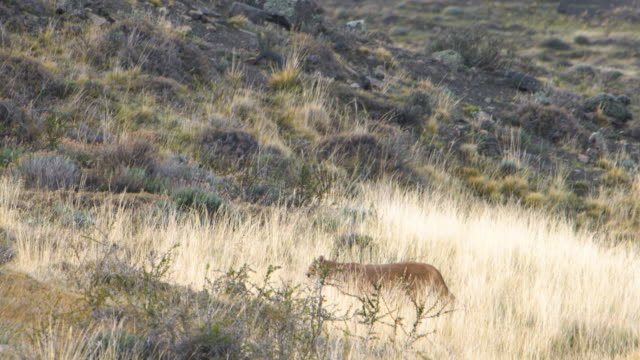 puma walking in the fields of patagonia - mountain lion stock videos & royalty-free footage
