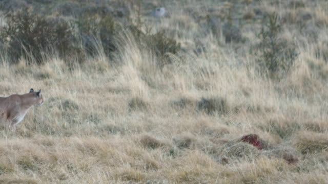 puma walking on the fields of torres del paine national park - mountain lion stock videos & royalty-free footage