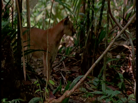 ms puma walking through forest, looks and calls before moving on, south america - mountain lion stock videos & royalty-free footage