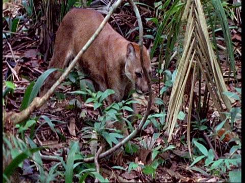 ms puma walking through undergrowth, south america - mountain lion stock videos & royalty-free footage