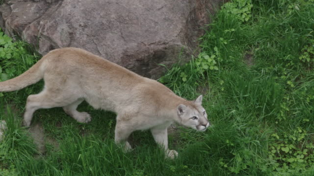 puma walks out of forest - puma stock videos & royalty-free footage