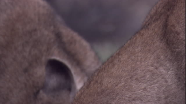 pumas feed on a guanaco carcass. available in hd. - puma stock videos & royalty-free footage