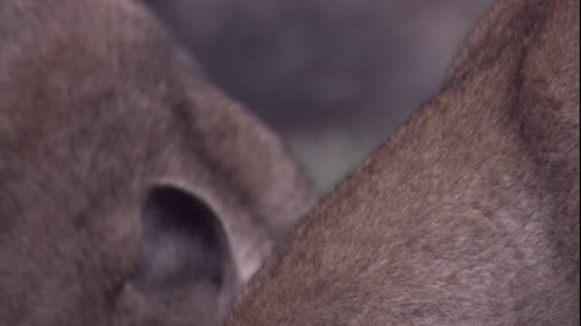 vídeos y material grabado en eventos de stock de pumas feed on a guanaco carcass. available in hd. - puma