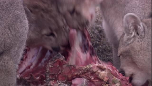 pumas feed on a guanaco carcass. available in hd. - tearing stock videos & royalty-free footage