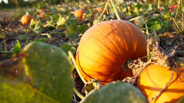 pumpkin patch - crop stock videos & royalty-free footage
