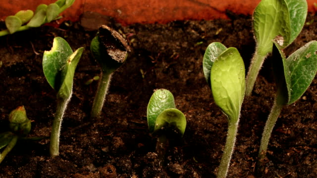 pumpkin plants sprout from soil. - pumpkin stock videos & royalty-free footage