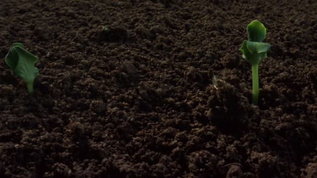 T/L, CU, DS, Pumpkin seedlings emerging from soil