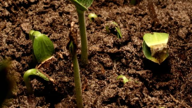 pumpkin seedlings sprout from soil. - カボチャ点の映像素材/bロール